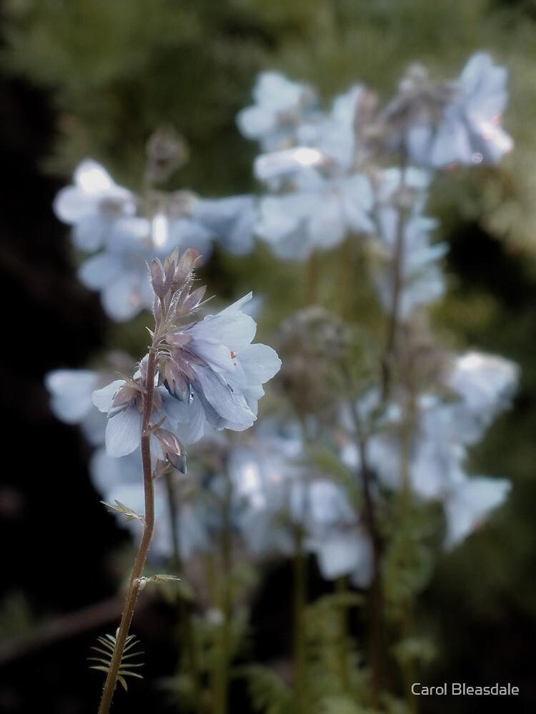 Pastel Blue by Carol Bleasdale