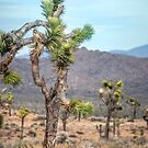 Joshua Trees by Dave Hare