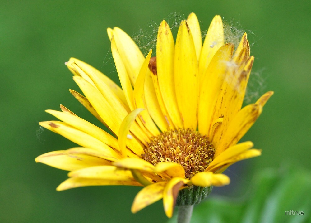 Yellow gerber daisy with cottonwood fluff by mltrue