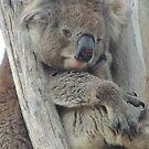 Daydreaming koala at Belair National Park by Dan Monceaux