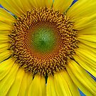 Sunflower in the Garden by Sherry Durkin