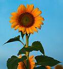 Sunflower Portraits #1 by Odille Esmonde-Morgan