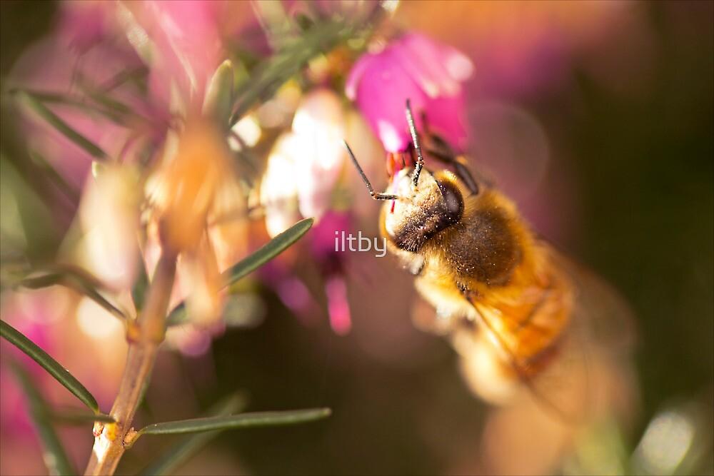 Cute Little Bee II by Josie Eldred