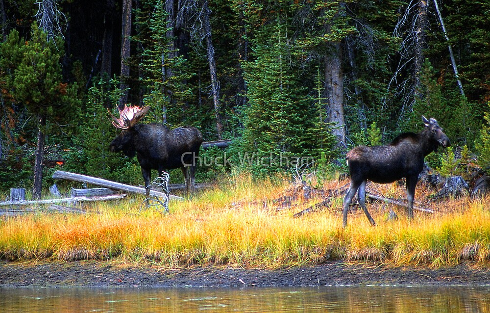 BULL AND COW MOOSE by Chuck Wickham