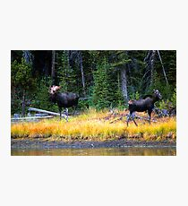 BULL AND COW MOOSE Photographic Print