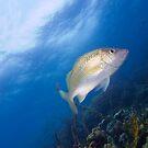Grunt, Barracuda Reef, Nassau, Bahamas by Shane Pinder