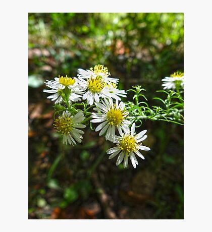 Flat-Topped Aster Photographic Print