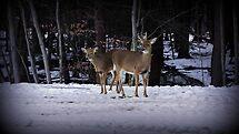 Deer Love by Jessica Liatys