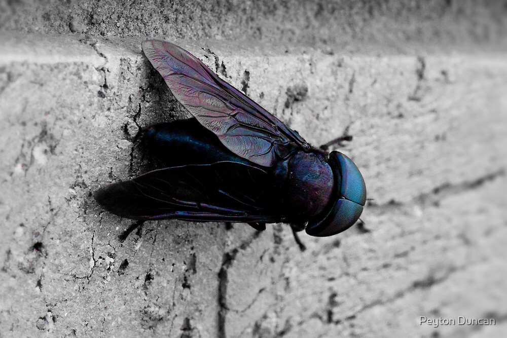 Black & Blue Fly by Peyton Duncan