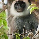 Gray Langur  by Dilshara Hill