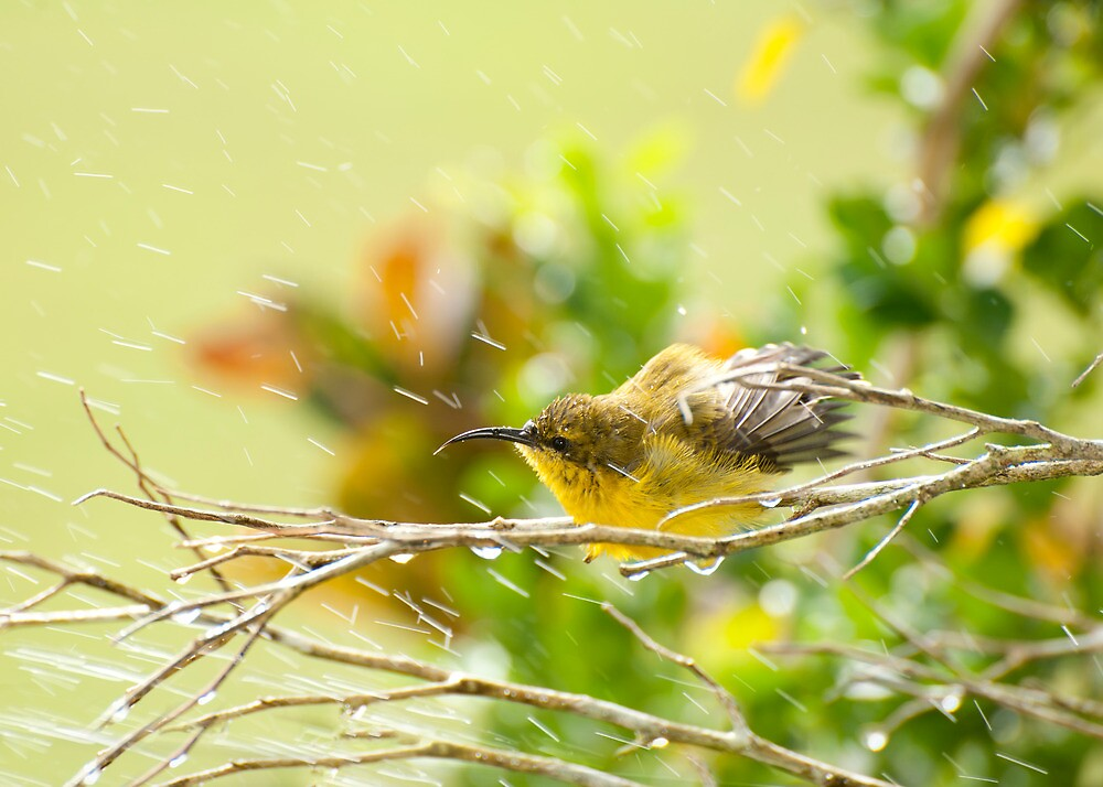 Raindrops keep falling - sunbird bathing. by Jenny Dean