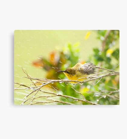 Raindrops keep falling - sunbird bathing. Metal Print