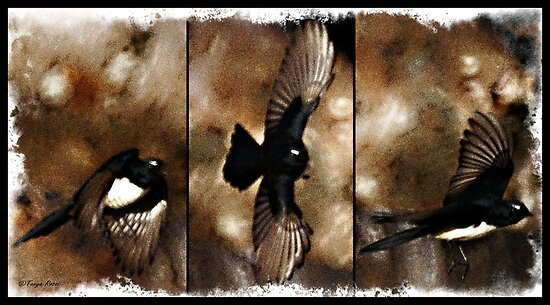 Willy Wagtail in Flight by Tanya Rossi