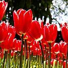 Tall Tulips by Jack McCallum