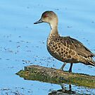 Adult Grey Teal by Robert Abraham