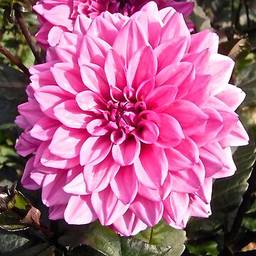 Pink Flower in the garden at Kingsmere, Chelsea, PQ Canada by Shulie1