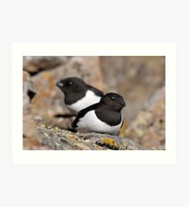 Little auk in West Spitsbergen Art Print