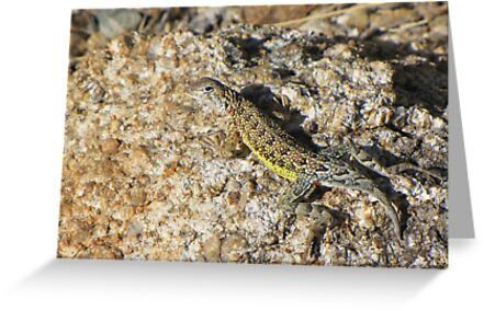 Elegant Earless Lizard ~ Male by Kimberly Chadwick