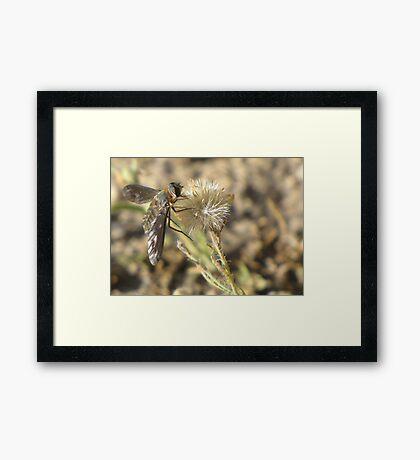 Bee Fly (family Bombyliidae) Framed Print