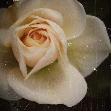 Antique Rose by kaycam