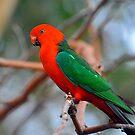 Male King Parrot. Brisbane, Queensland, Australia. (6) by Ralph de Zilva
