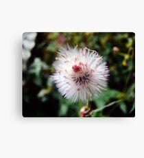 Dandelion Look-a-like Canvas Print