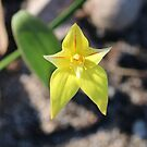 Caladenia in Yellow by kalaryder