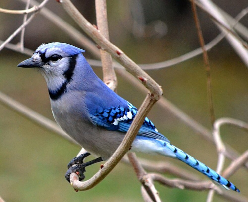 Blue Jay by Sheryl Gerhard
