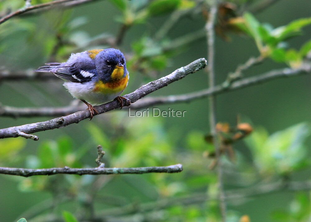 Northern Parula Warbler by Lori Deiter