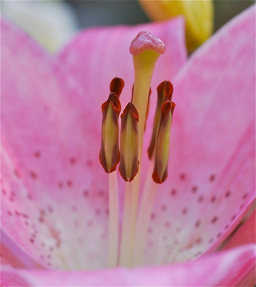 Lovely Lily Stamens by Penny Smith