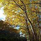 Autumn colour, Leura, the Blue Mountains of NSW by Catherine Davis