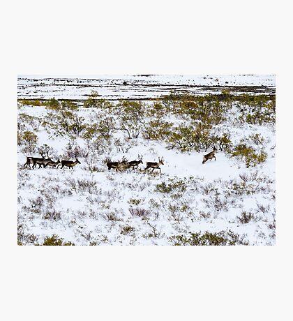 Caribou Photographic Print