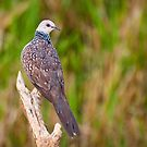 Spotted Dove by Dilshara Hill