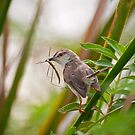Plain Prinia by Dilshara Hill
