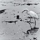 Little Egret by Dilshara Hill