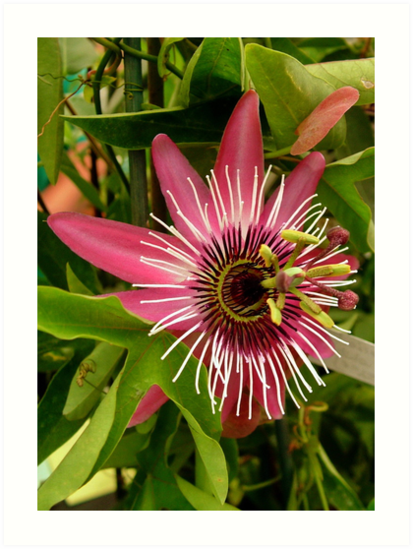 Pink Passion Flower by AnnDixon