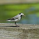 Wagtail With Damselfly by Robert Abraham