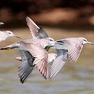 grey tailed tattler by birdpics
