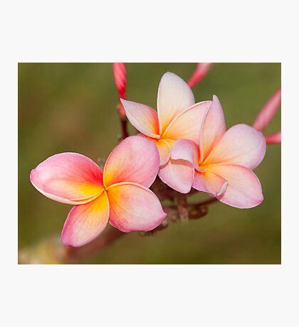 Tropicana - frangapani flower Photographic Print