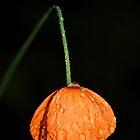 Poppy by Sandra Pearson