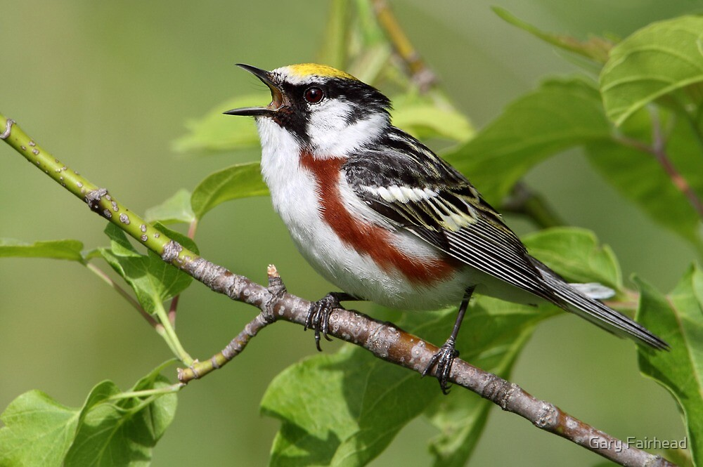 In Full Song / Chestnut Sided Warbler by Gary Fairhead
