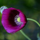 A Poppy of a Different Color by Brent McMurry