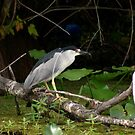 Black crowned night heron eating a dragonfly by Margaret  Shark