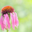 Echinacea by Lifeware