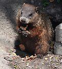Baby Groundhog by Elaine  Manley