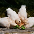 Cluster Ducks by Yvonne Roberts