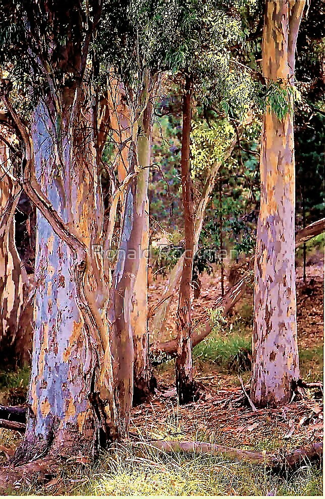 Red River Gums Native To Australia by Ronald Rockman
