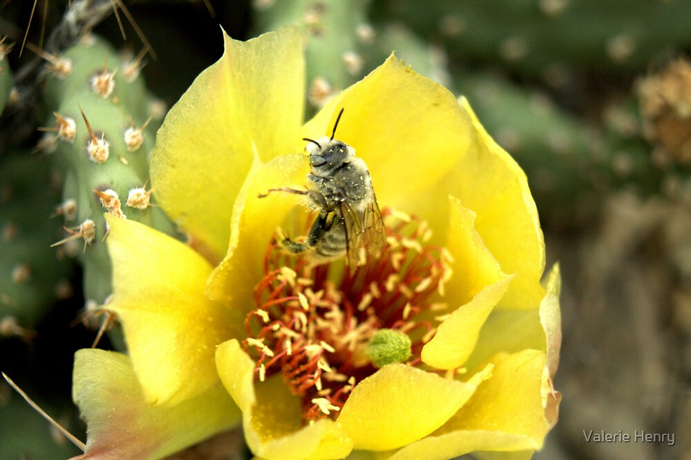Wild Cacti flower. by Valerie Henry