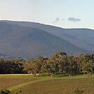 Killara Vineyard panorama 2 by rjpmcmahon