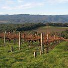 Killara Vineyard panorama by rjpmcmahon